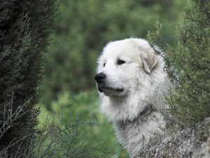 pyrenese berghond staat tussen struiken in