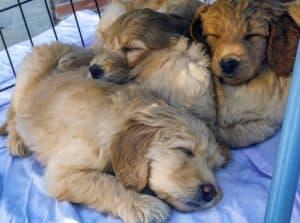 slapende puppy's