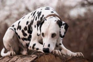 dalmatier ligt op een boomstronk