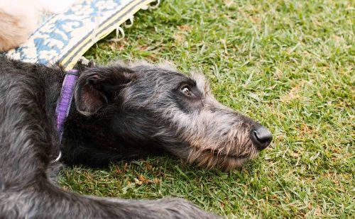 deerhound ligt met zijn kop op een grasveld