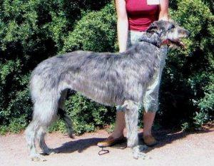 deerhound staat voor struiken voor een mens