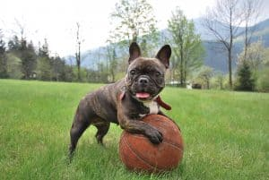 franse buldog puppy leunt op een basketbal