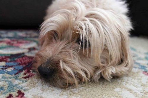 hond ligt zielig op vloerbedekking