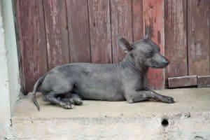 mexicaanse naakthond ligt op een steen