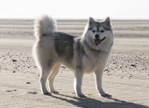 pomsky staat op een strand
