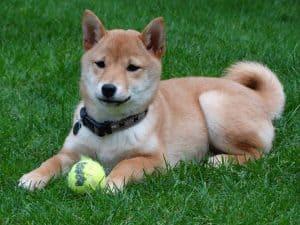 shiba inu ligt in een grasveld met een tennisbal