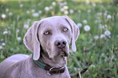 weimarse staande hond staat in een grasveld