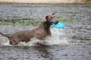 weimarse staande hond speelt in het water