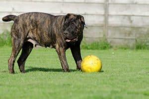 dogo canario speelt met een bal in een grasveld
