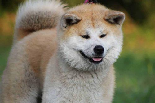 close up van een akita