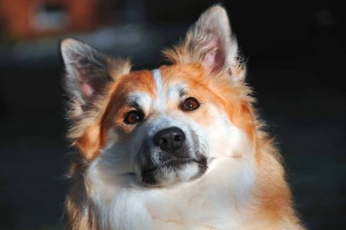 close up van een ijslandse hond