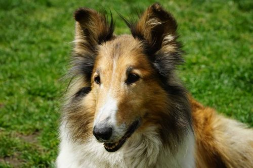 close up van een schotse herdershond