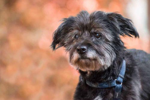 close up van een zwarte hond