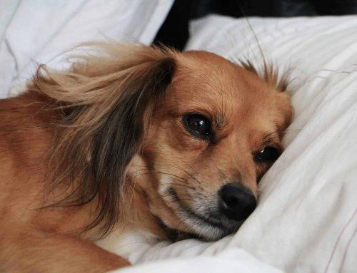 hond ligt op een kussen