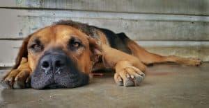 hond ligt uitgestrekt op de vloer