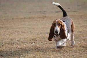 hond loopt over dor gras