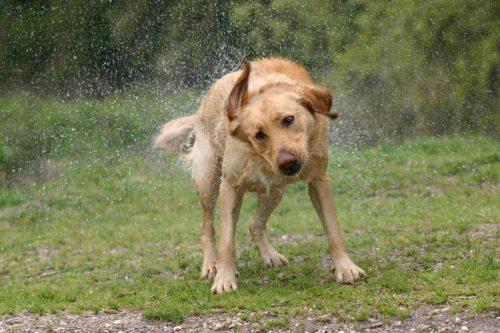 hond schud water van zich af
