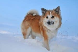 ijslandse hond staat in de sneeuw