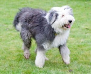 old english sheepdog loopt in een grasveld