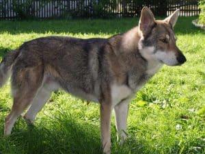 saarlooswolfhond staat in een grasveld