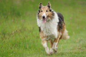 schotse herdershond rent door een grasveld