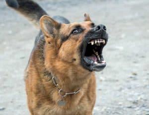 agressieve hond kijkt in de camera