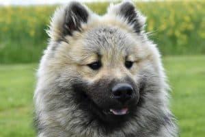 close up van een harige hond