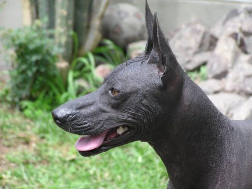 close up van een peruaanse naakthond