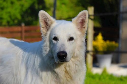 close up van een zwitserse witte herder