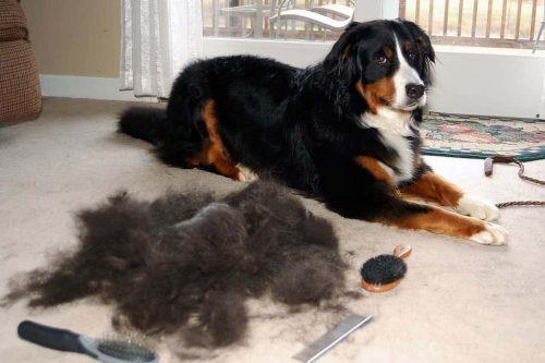grote berg haar naast een hond die ligt
