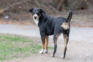 appenzeller sennenhond staat op grind en kijkt achterom