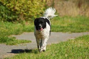 wetterhoun loopt over een grasveld