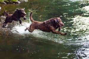 chesapeake bay retrievers springen in het water