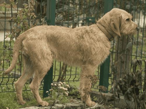 griffon fauve de bretagne staat voor een hek