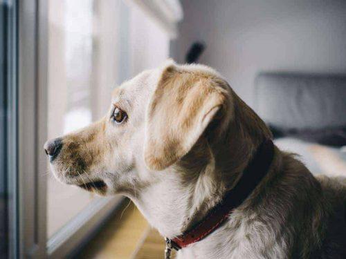 hond kijkt zielig uit een raam