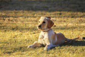 puppy ligt in een grasveld te staren