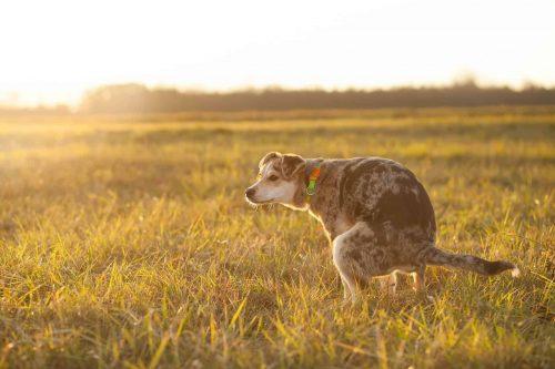 hond poept in een grasveld