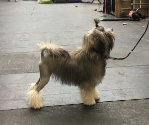leeuwhondje aangelijnd op straat